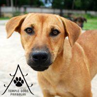 Temple Dogs Pranburi